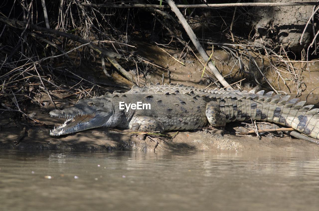 Close-Up Of Crocodile On Riverbank