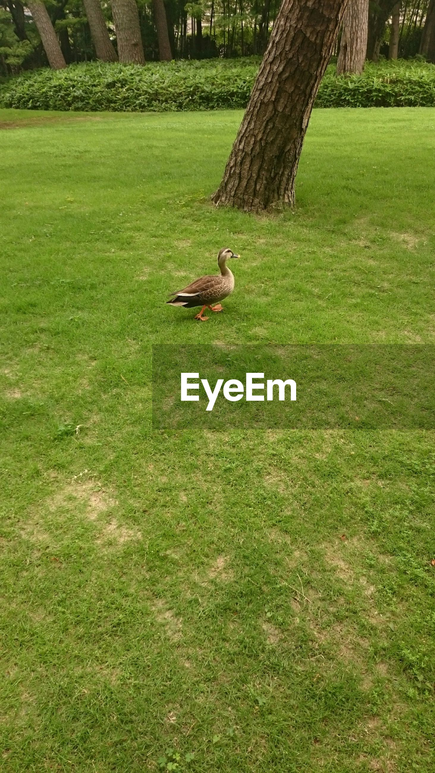 grass, animal themes, one animal, grassy, green color, field, wildlife, animals in the wild, bird, lawn, park - man made space, dog, grassland, full length, sunlight, nature, high angle view, outdoors, domestic animals, day