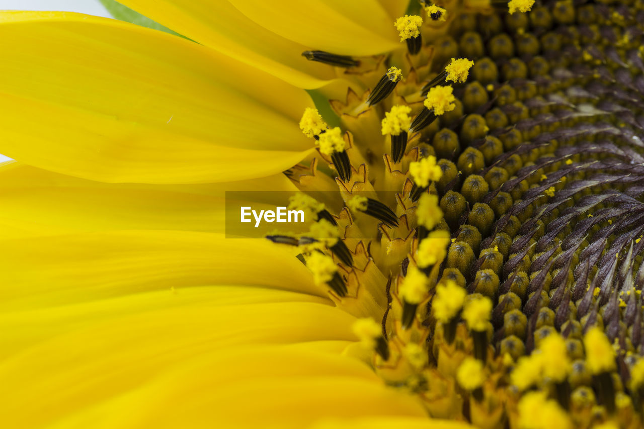 flower, yellow, flowering plant, fragility, vulnerability, plant, flower head, freshness, petal, inflorescence, beauty in nature, selective focus, pollen, growth, close-up, sunflower, no people, nature, botany, softness, pollination