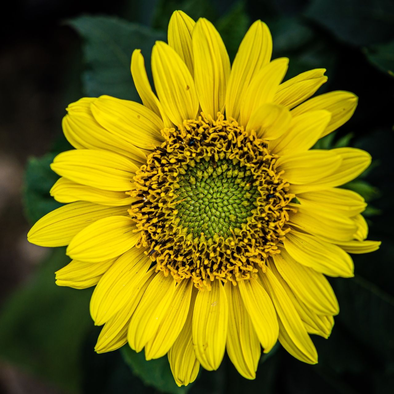 flower, flowering plant, yellow, flower head, fragility, petal, freshness, vulnerability, inflorescence, beauty in nature, plant, close-up, growth, focus on foreground, pollen, nature, sunflower, no people, day, outdoors
