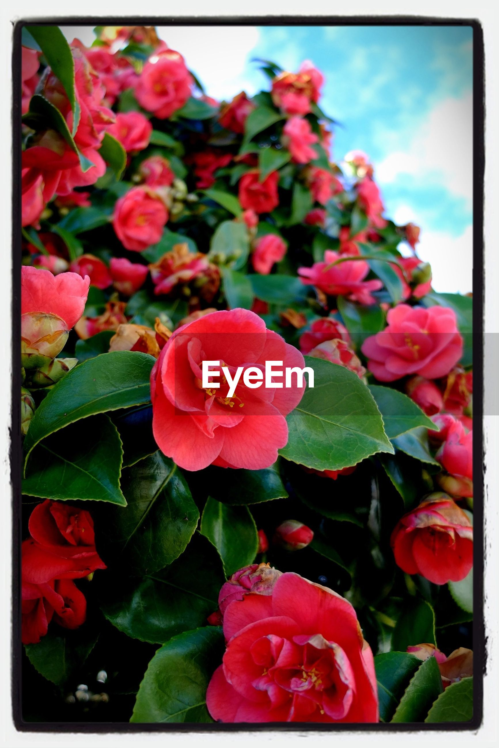 transfer print, flower, freshness, petal, fragility, auto post production filter, flower head, beauty in nature, growth, red, blooming, nature, leaf, close-up, plant, pink color, in bloom, blossom, day, outdoors