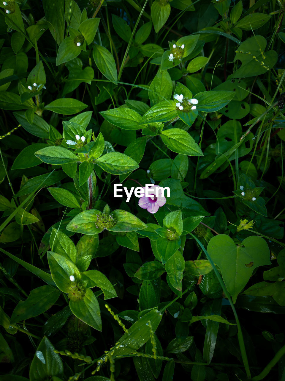 HIGH ANGLE VIEW OF PURPLE FLOWERING PLANT ON GREEN LEAF