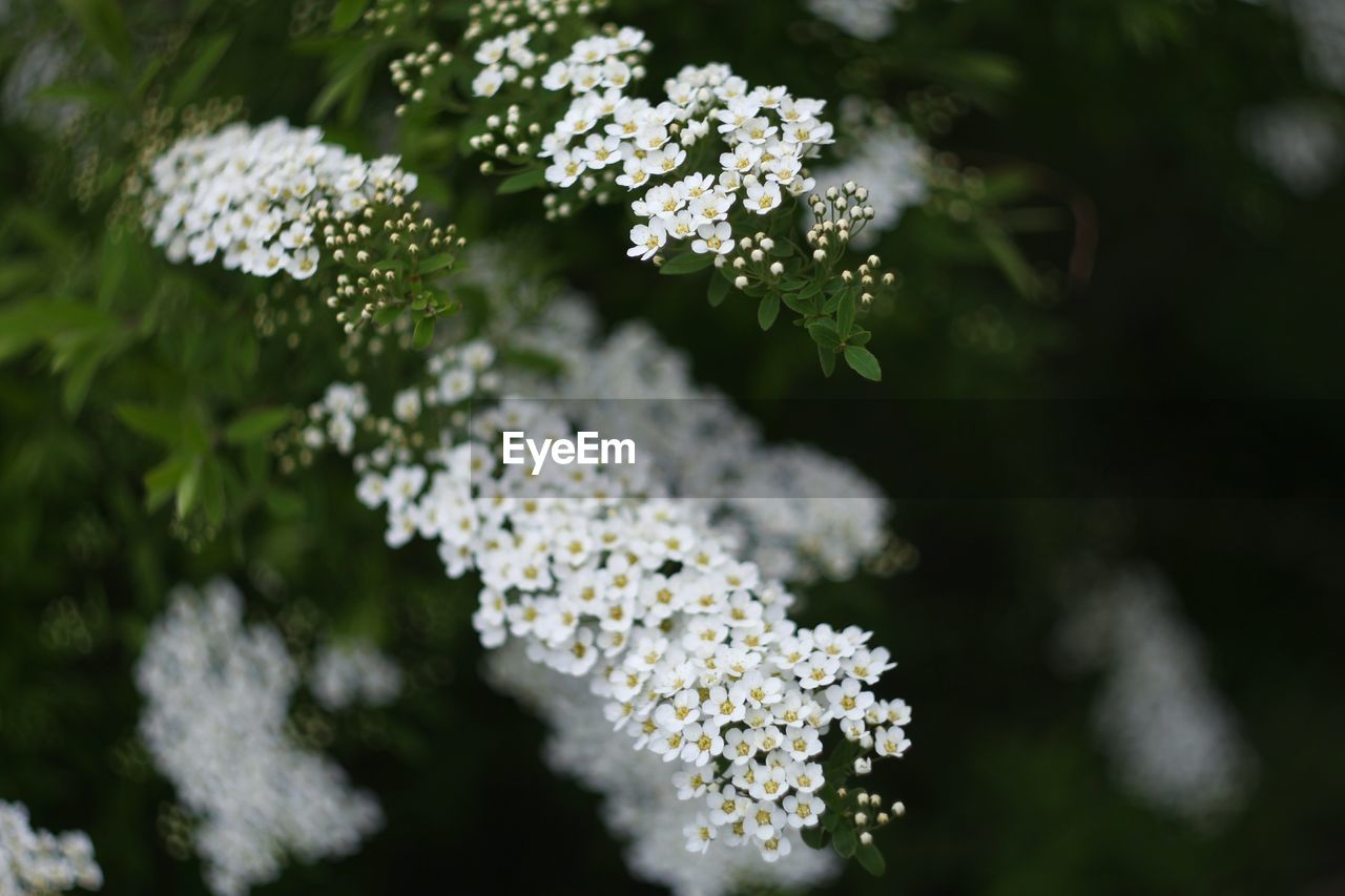 White Flowers Blooming In Garden