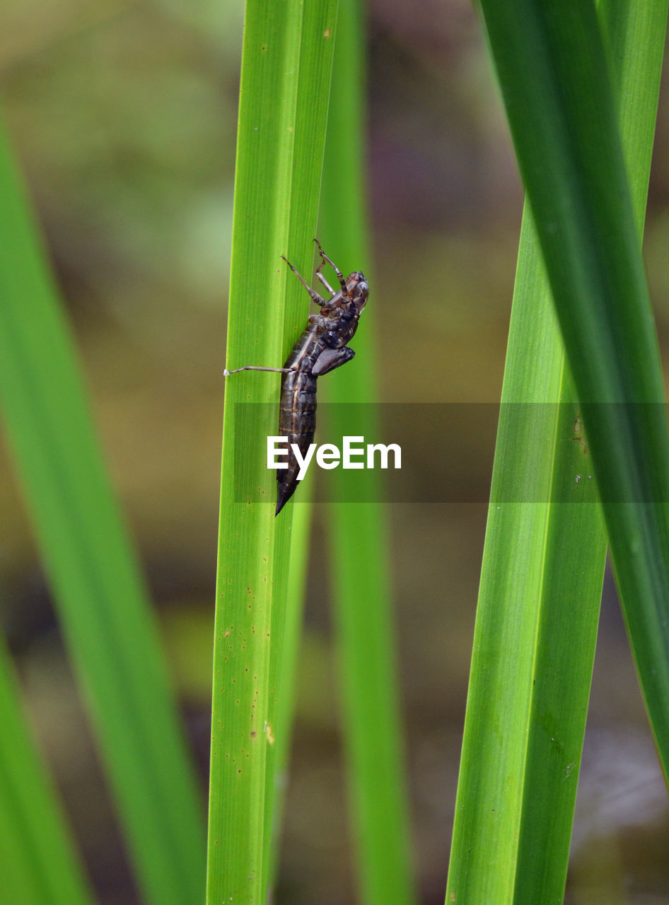 CLOSE-UP OF INSECT ON GREEN GRASS