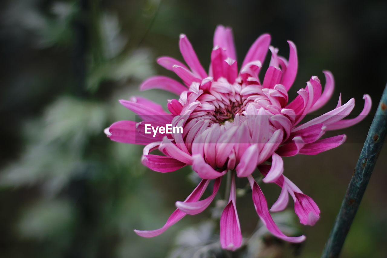 flower, flowering plant, fragility, vulnerability, freshness, petal, beauty in nature, plant, growth, flower head, pink color, inflorescence, close-up, focus on foreground, nature, no people, pollen, day, outdoors, purple, pollination