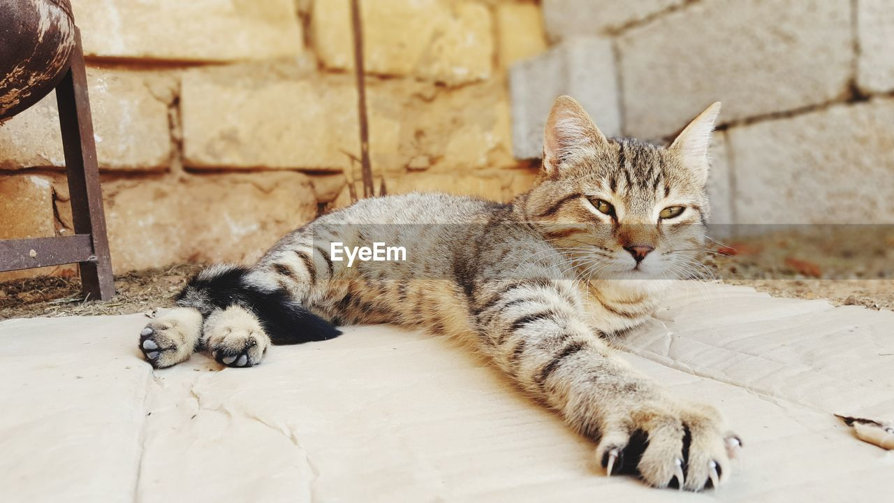 feline, cat, mammal, pets, domestic, domestic cat, domestic animals, relaxation, vertebrate, one animal, no people, portrait, resting, focus on foreground, looking at camera, whisker, looking, tabby
