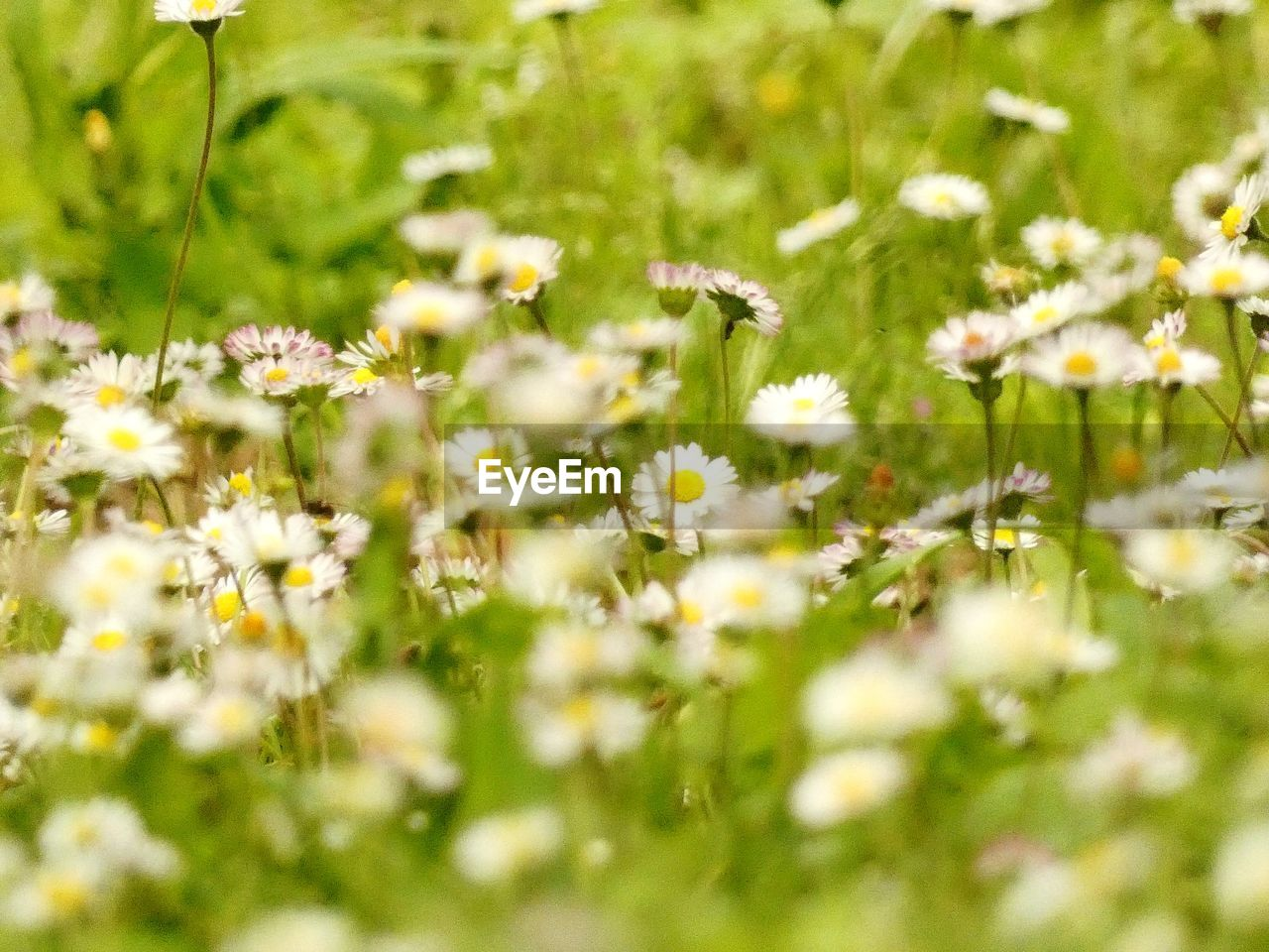 flower, flowering plant, fragility, plant, vulnerability, freshness, growth, beauty in nature, field, selective focus, nature, land, tranquility, no people, daisy, beauty, yellow, day, petal, relaxation, flower head