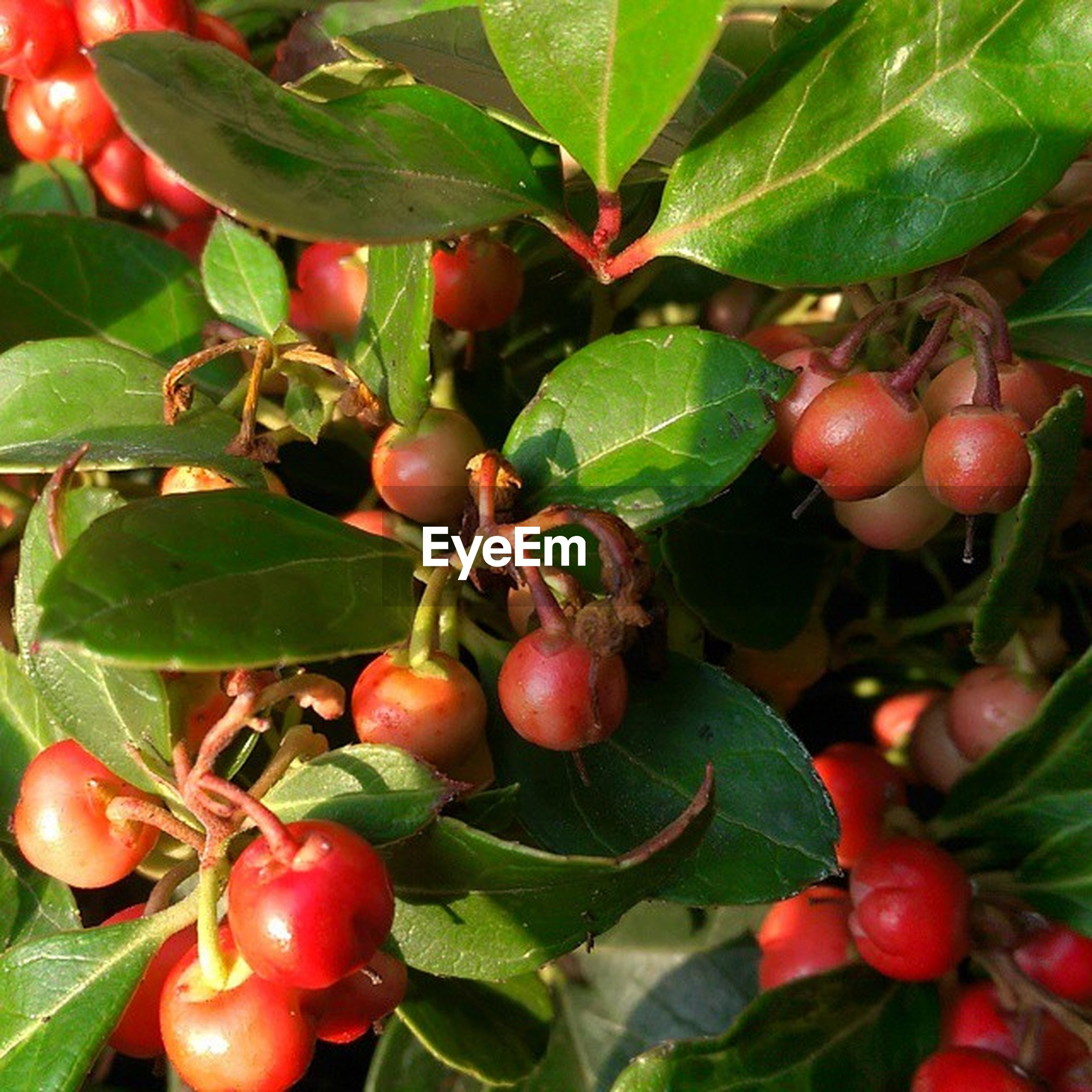 food and drink, fruit, food, healthy eating, freshness, red, leaf, ripe, growth, tree, close-up, green color, berry fruit, hanging, agriculture, branch, cherry, juicy, organic, nature