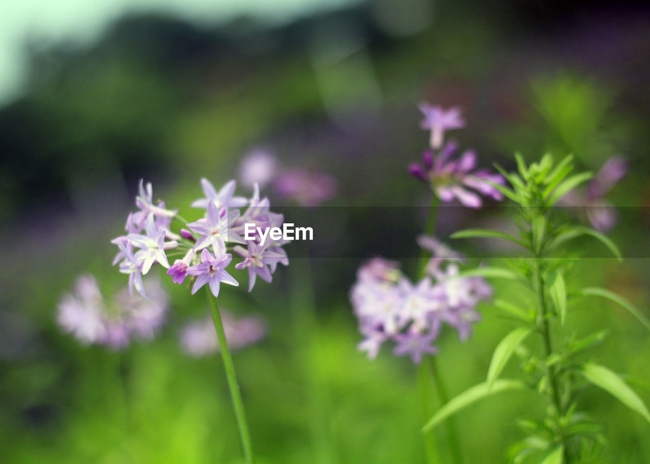 flower, flowering plant, plant, freshness, fragility, vulnerability, beauty in nature, growth, petal, flower head, inflorescence, close-up, nature, no people, day, focus on foreground, pink color, selective focus, outdoors, green color, purple