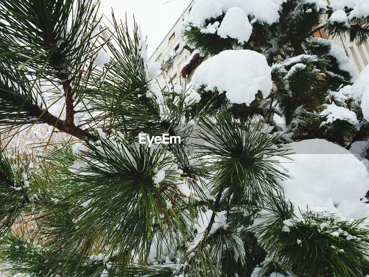 tree, plant, cold temperature, winter, growth, snow, nature, sky, day, no people, beauty in nature, low angle view, tranquility, branch, green color, outdoors, frozen, pine tree, close-up, coniferous tree, fir tree