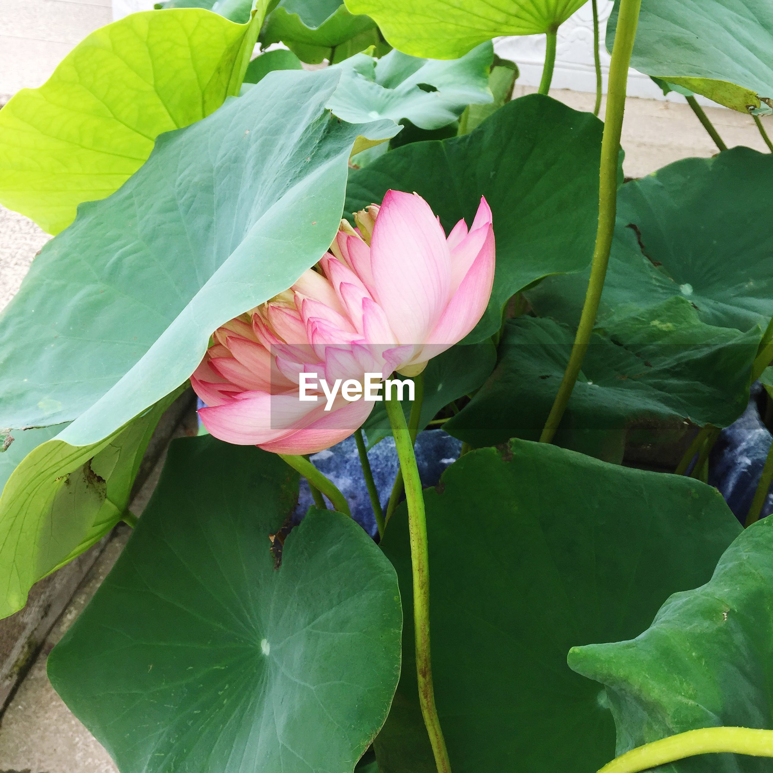 flower, leaf, freshness, petal, growth, fragility, pink color, flower head, beauty in nature, plant, nature, green color, blooming, close-up, stem, single flower, in bloom, blossom, pink, bud