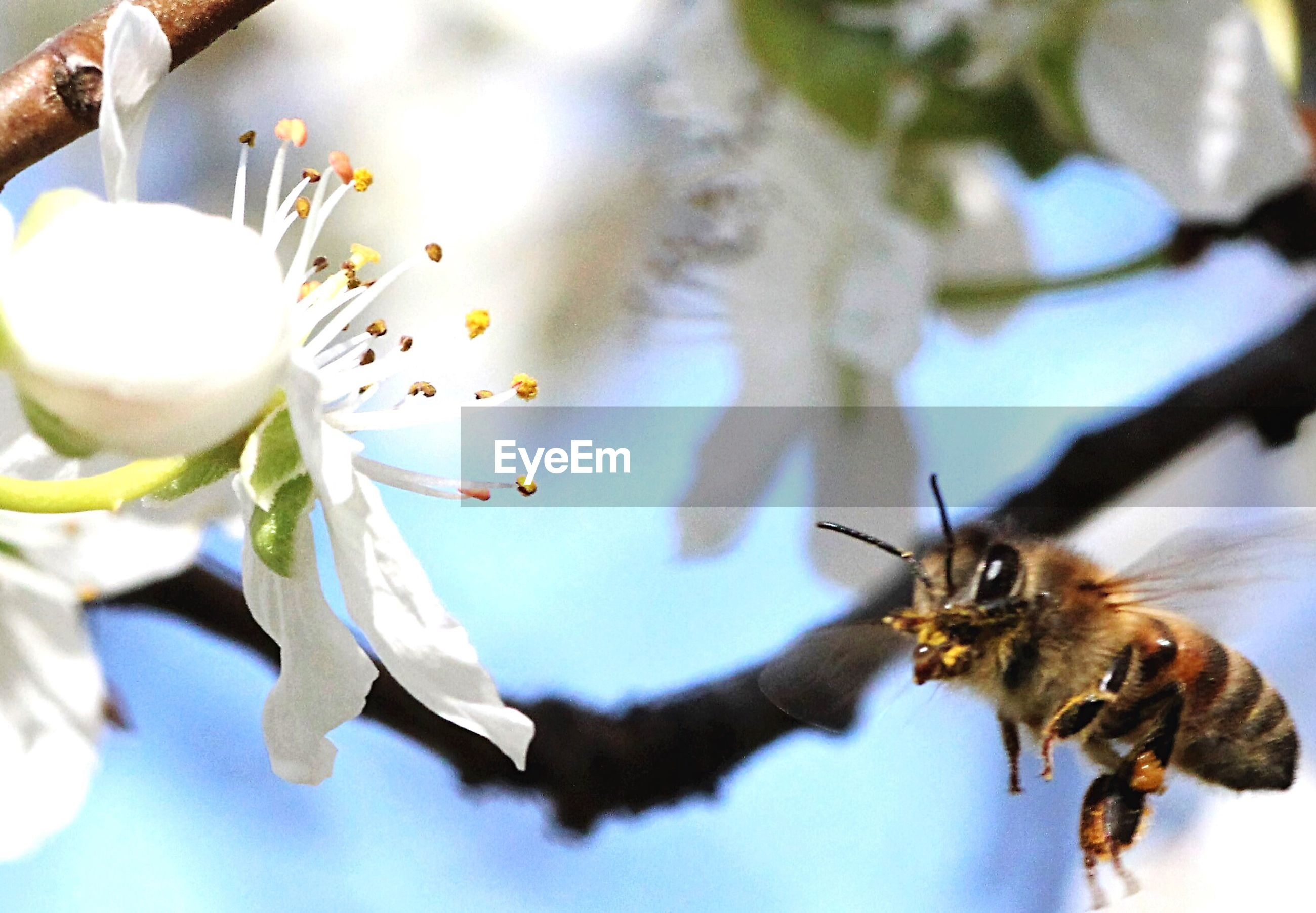 Close-up of bee flying near white flower