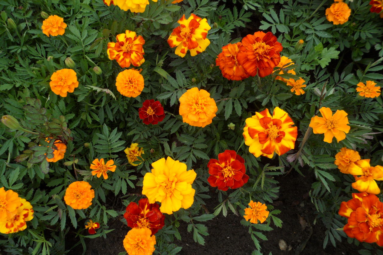 flowering plant, flower, fragility, vulnerability, freshness, plant, petal, beauty in nature, flower head, inflorescence, growth, orange color, high angle view, close-up, marigold, no people, botany, full frame, nature, day, outdoors, flowerbed, springtime