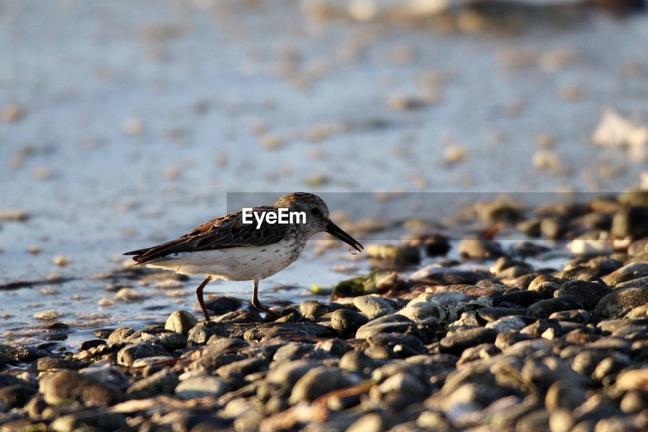 BIRD PERCHING ON PEBBLES