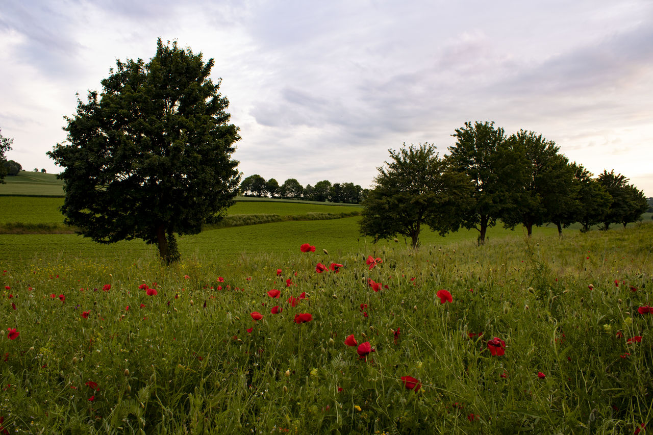 plant, sky, flower, flowering plant, field, beauty in nature, growth, tree, land, cloud - sky, environment, tranquility, landscape, nature, red, tranquil scene, grass, scenics - nature, no people, day, poppy, outdoors, flowerbed