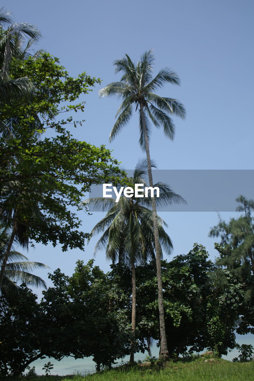 tree, plant, palm tree, sky, tropical climate, growth, low angle view, beauty in nature, no people, nature, coconut palm tree, tree trunk, trunk, tall - high, clear sky, day, outdoors, tranquility, scenics - nature, tranquil scene, tropical tree