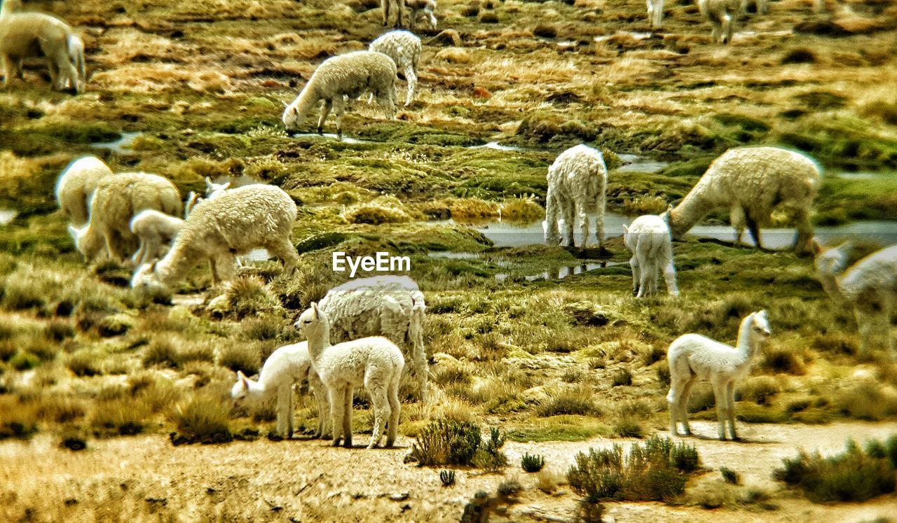 large group of animals, animal themes, sheep, flock of sheep, grazing, nature, no people, livestock, domestic animals, outdoors, grass, field, beauty in nature, llama, day, animals in the wild, mammal, togetherness, lamb