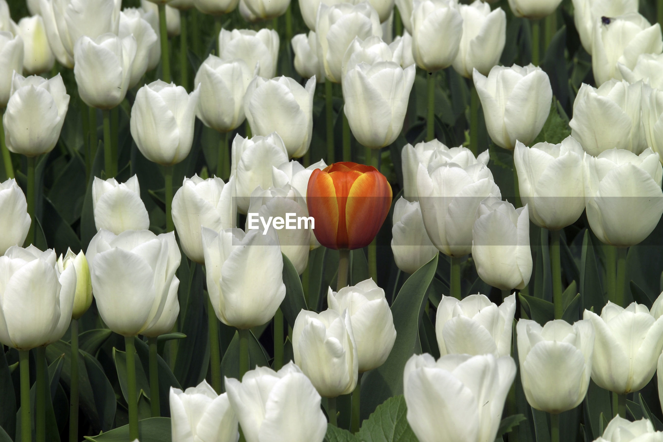 CLOSE-UP OF WHITE TULIP FLOWERS ON FIELD
