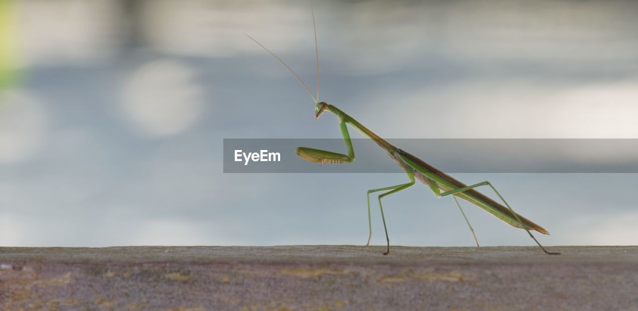 invertebrate, insect, animal themes, animal wildlife, animal, one animal, animals in the wild, praying mantis, day, focus on foreground, close-up, green color, animal body part, nature, selective focus, no people, animal antenna, outdoors, grasshopper, zoology
