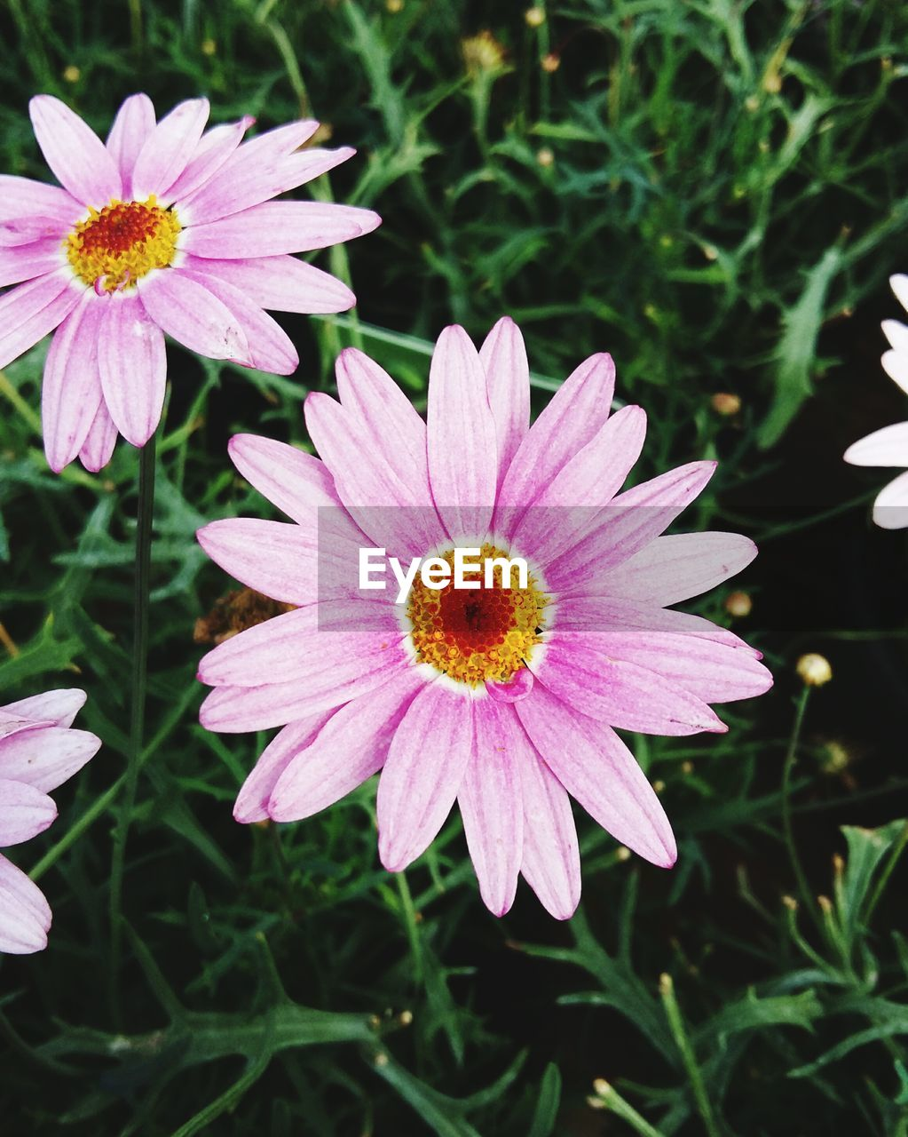 flower, petal, fragility, nature, growth, beauty in nature, freshness, flower head, plant, pollen, no people, insect, high angle view, outdoors, day, focus on foreground, close-up, blooming, animal themes, animals in the wild, bee, osteospermum, eastern purple coneflower