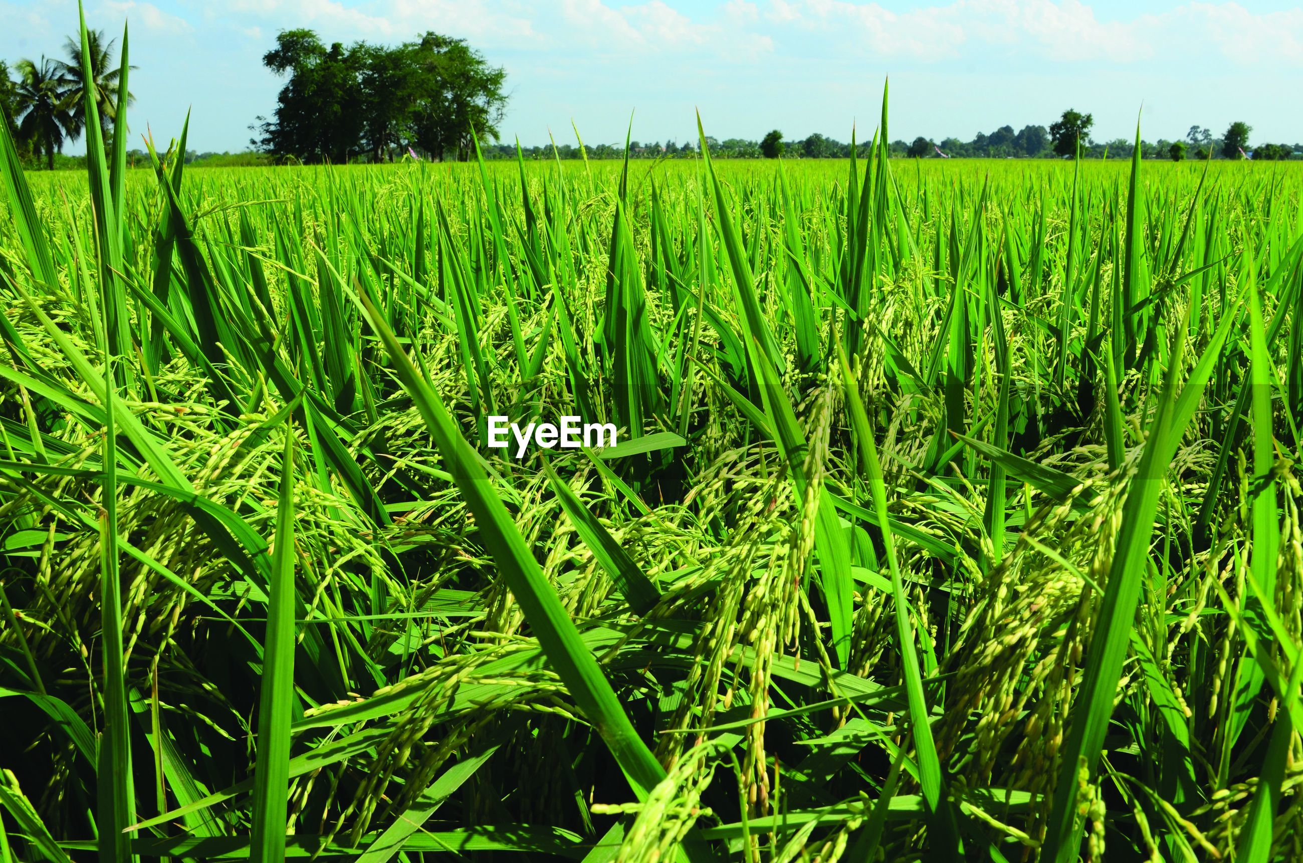 Rice field in Thailand Growth Green Color Field Agriculture Crop  Plantation Crop  Rice Field Rice Paddy Rice Grain Thailand Agricultures