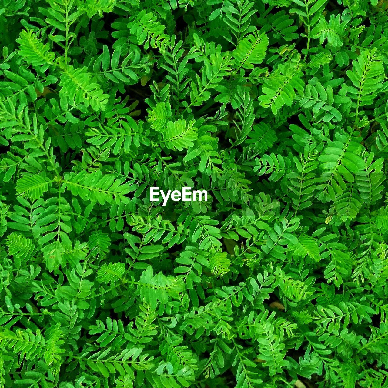 green color, full frame, growth, plant, backgrounds, plant part, leaf, no people, nature, foliage, day, lush foliage, beauty in nature, high angle view, close-up, freshness, food and drink, herb, botany, vegetable