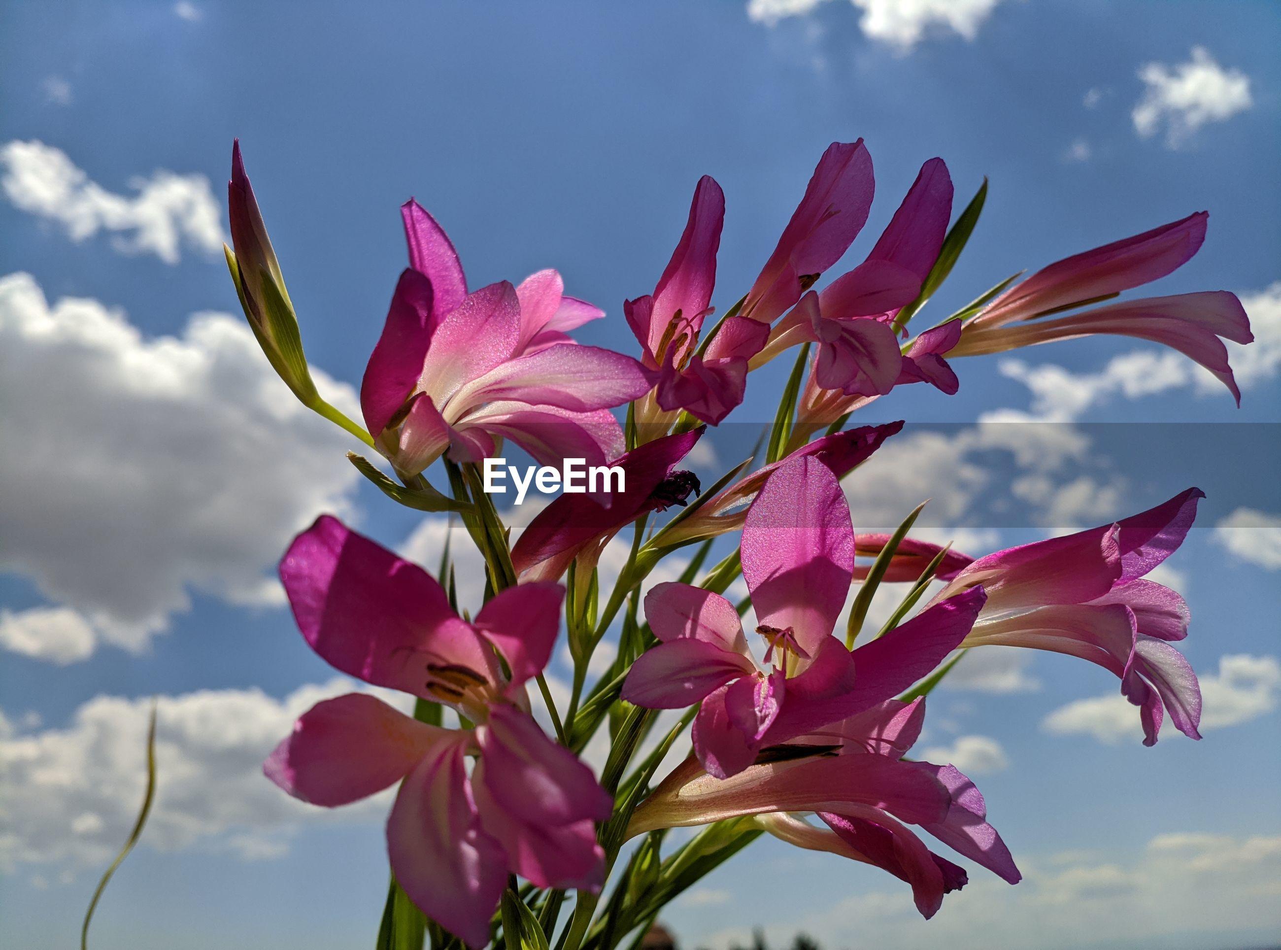 Close-up of pink gladiolus flowering plant against sky