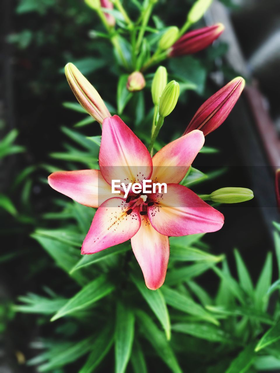 flower, petal, flower head, fragility, freshness, nature, beauty in nature, growth, plant, close-up, pollen, day, blooming, no people, pink color, outdoors, day lily