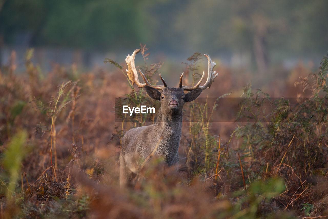 Portrait of deer standing on land