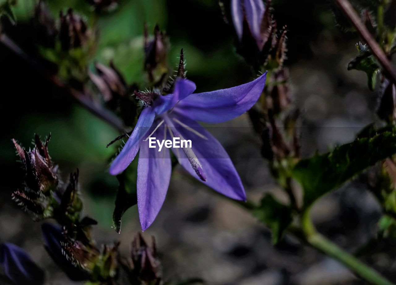 flowering plant, flower, fragility, beauty in nature, freshness, plant, close-up, vulnerability, growth, petal, purple, flower head, inflorescence, no people, nature, day, selective focus, focus on foreground, outdoors, botany, pollen, spring