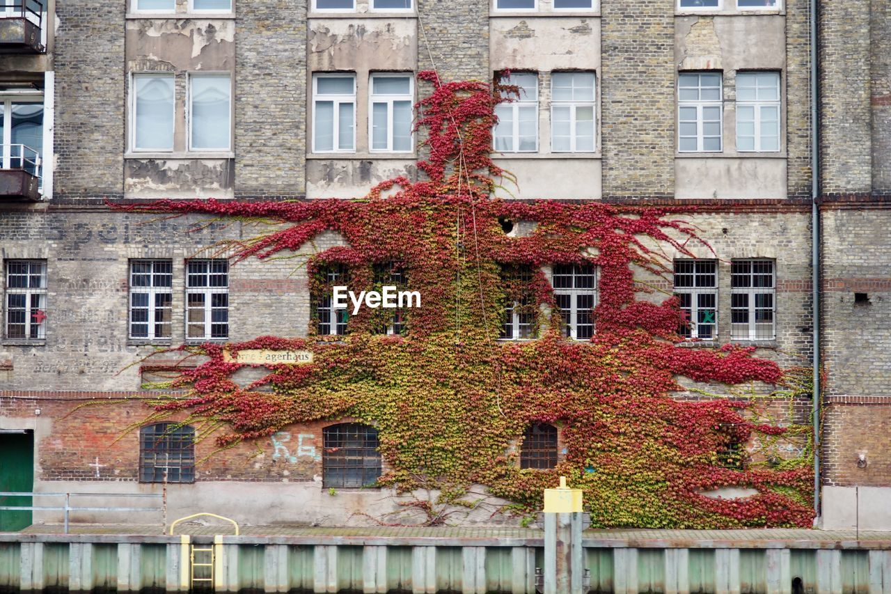 Ivy On Building During Autumn