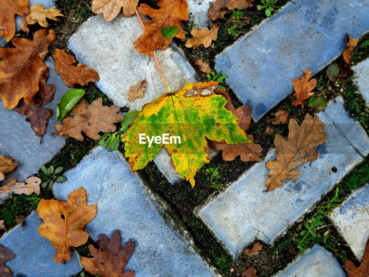 leaf, plant part, autumn, no people, change, nature, day, close-up, dry, high angle view, leaves, full frame, outdoors, moss, plant, beauty in nature, textured, falling, backgrounds, lichen, maple leaf, natural condition