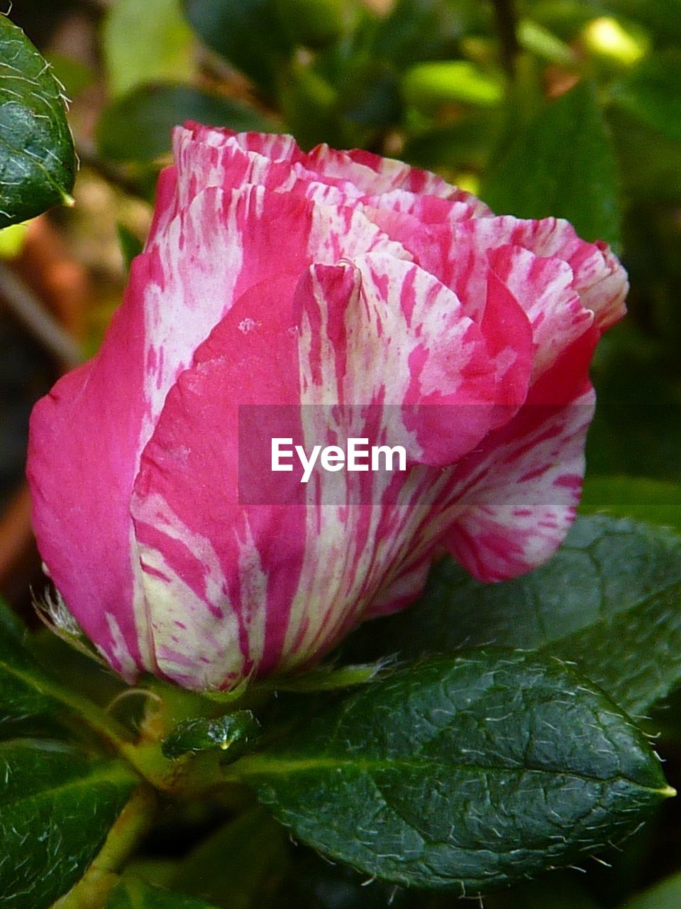 flower, nature, petal, beauty in nature, growth, flower head, plant, fragility, close-up, no people, pink color, leaf, drop, outdoors, freshness, day, water, hibiscus