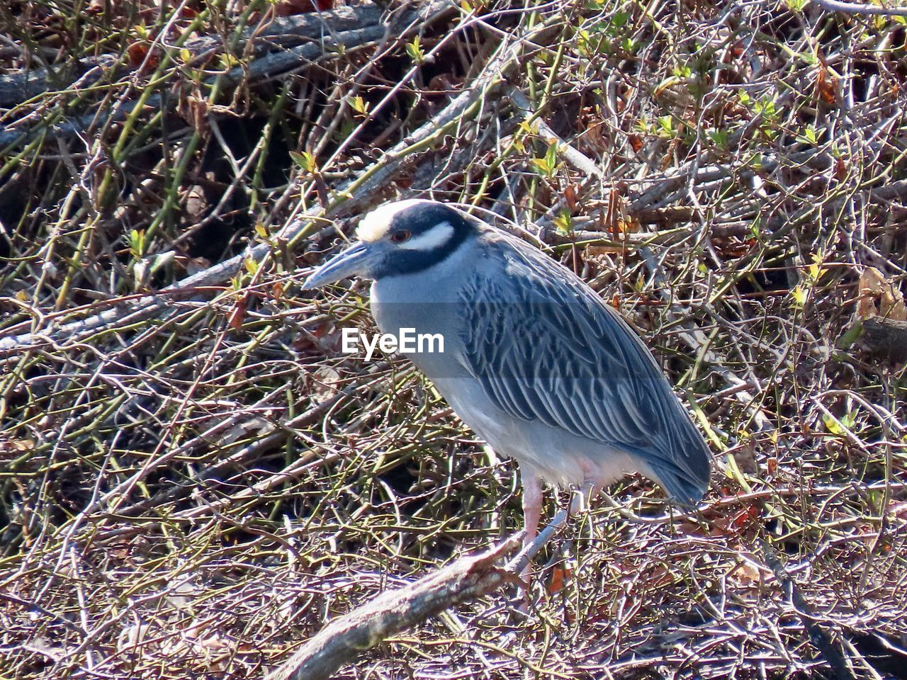 one animal, animal themes, animal, animal wildlife, bird, animals in the wild, vertebrate, plant, perching, no people, land, heron, nature, day, side view, field, focus on foreground, water bird, outdoors, close-up