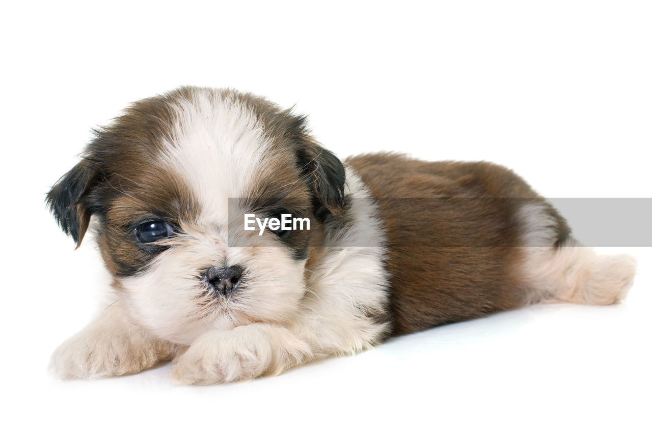 mammal, one animal, domestic, pets, dog, canine, animal themes, domestic animals, animal, studio shot, young animal, cute, indoors, puppy, white background, looking at camera, relaxation, portrait, lap dog, small, no people, softness, shih tzu, innocence, animal head