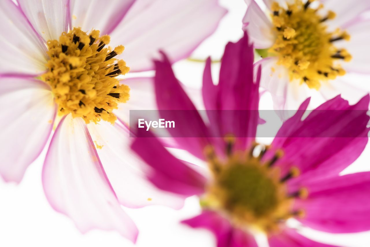 flowering plant, flower, fragility, vulnerability, freshness, petal, beauty in nature, flower head, plant, growth, pollen, inflorescence, close-up, yellow, selective focus, pink color, nature, cosmos flower, no people, outdoors, purple, gazania