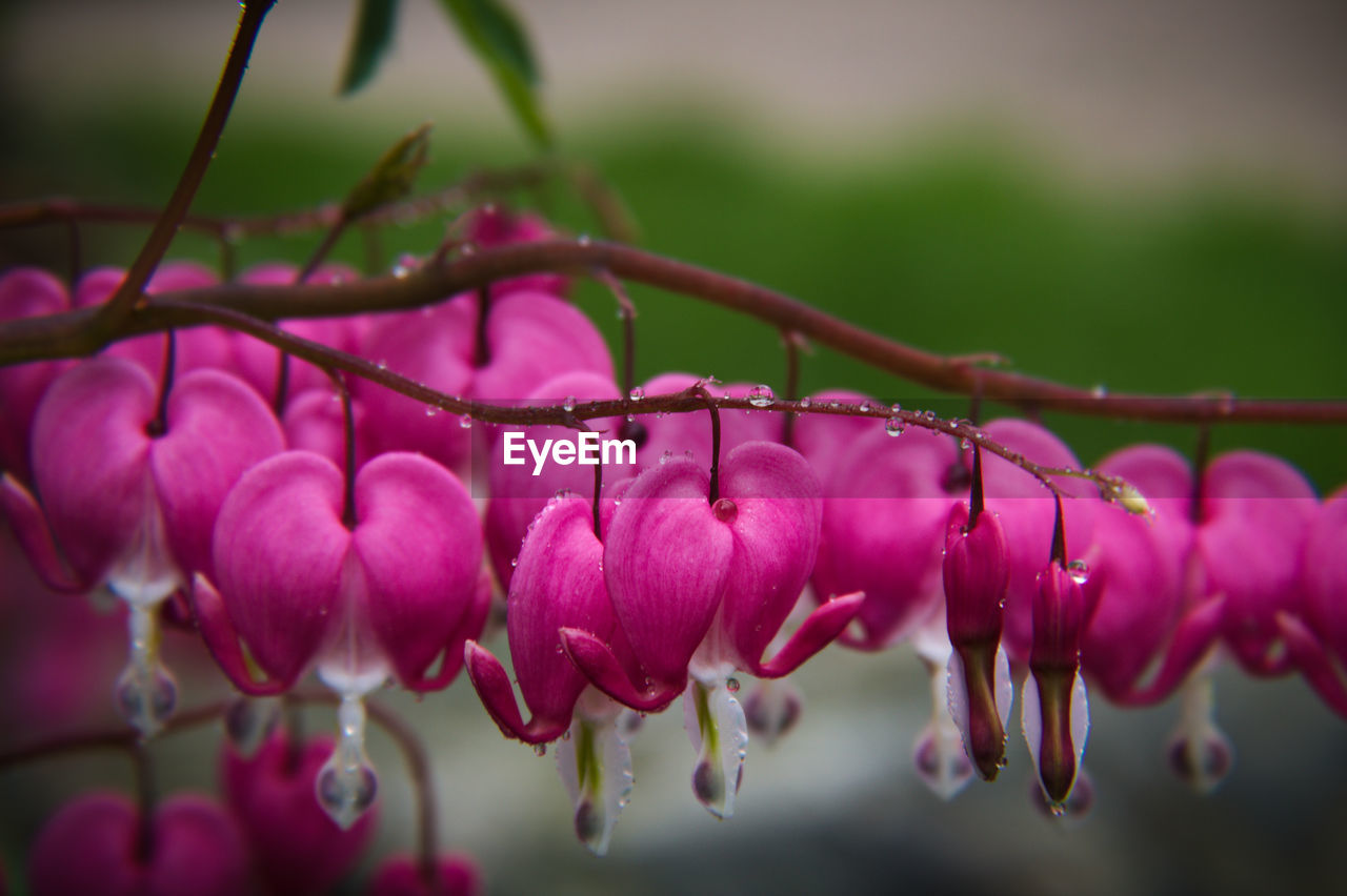plant, beauty in nature, flowering plant, close-up, flower, growth, freshness, pink color, vulnerability, fragility, petal, nature, focus on foreground, selective focus, no people, day, drop, inflorescence, wet, flower head, outdoors, springtime, purple, raindrop, dew