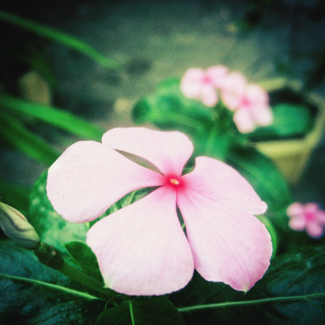 flower, petal, growth, flower head, pink color, beauty in nature, fragility, periwinkle, freshness, blooming, nature, close-up, plant, day, focus on foreground, no people, outdoors
