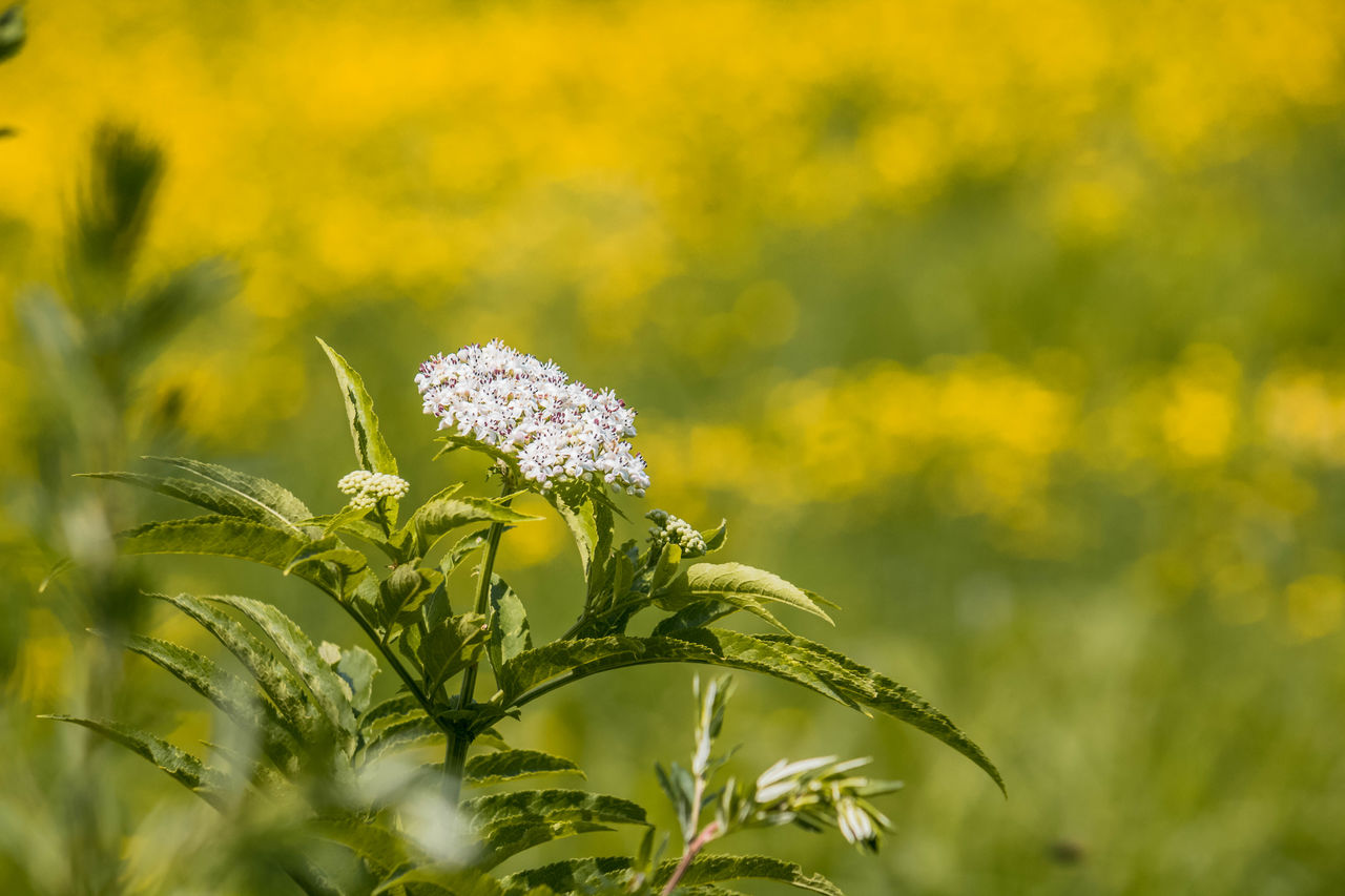 plant, flower, growth, flowering plant, beauty in nature, fragility, vulnerability, freshness, close-up, yellow, selective focus, nature, field, day, petal, green color, flower head, no people, inflorescence, land, outdoors