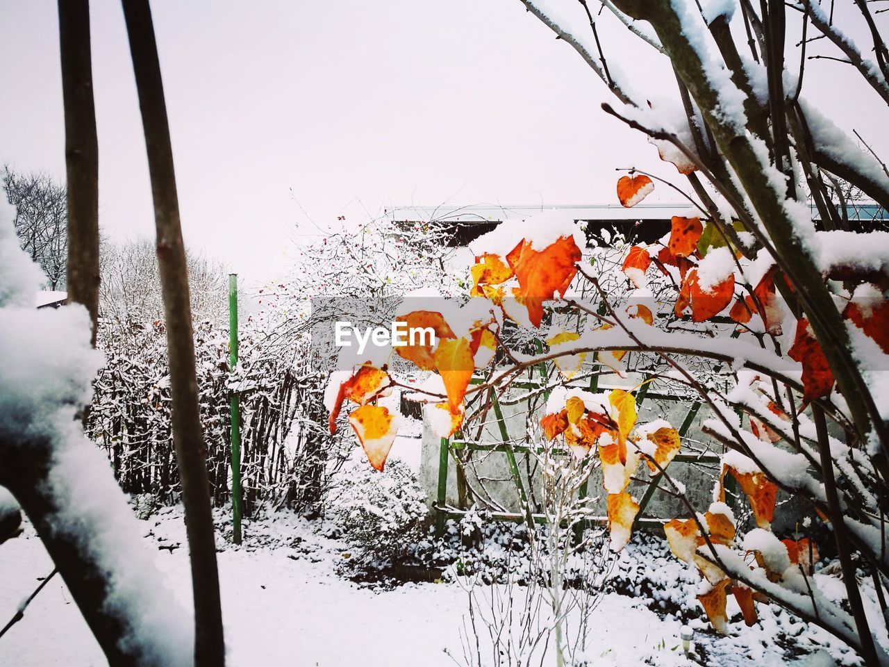 winter, snow, nature, cold temperature, beauty in nature, growth, flower, weather, outdoors, no people, plant, sky, tree, branch, day, freshness, fragility, blooming, close-up