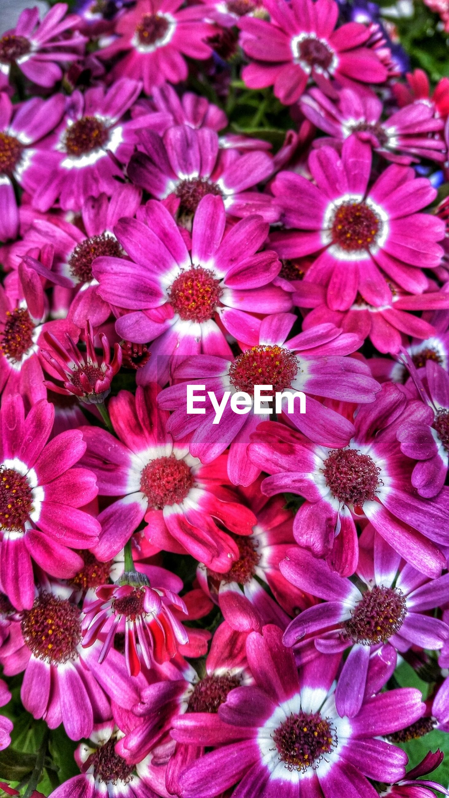 flower, freshness, petal, fragility, flower head, beauty in nature, growth, nature, full frame, blooming, close-up, pollen, pink color, backgrounds, plant, in bloom, purple, high angle view, abundance, blossom