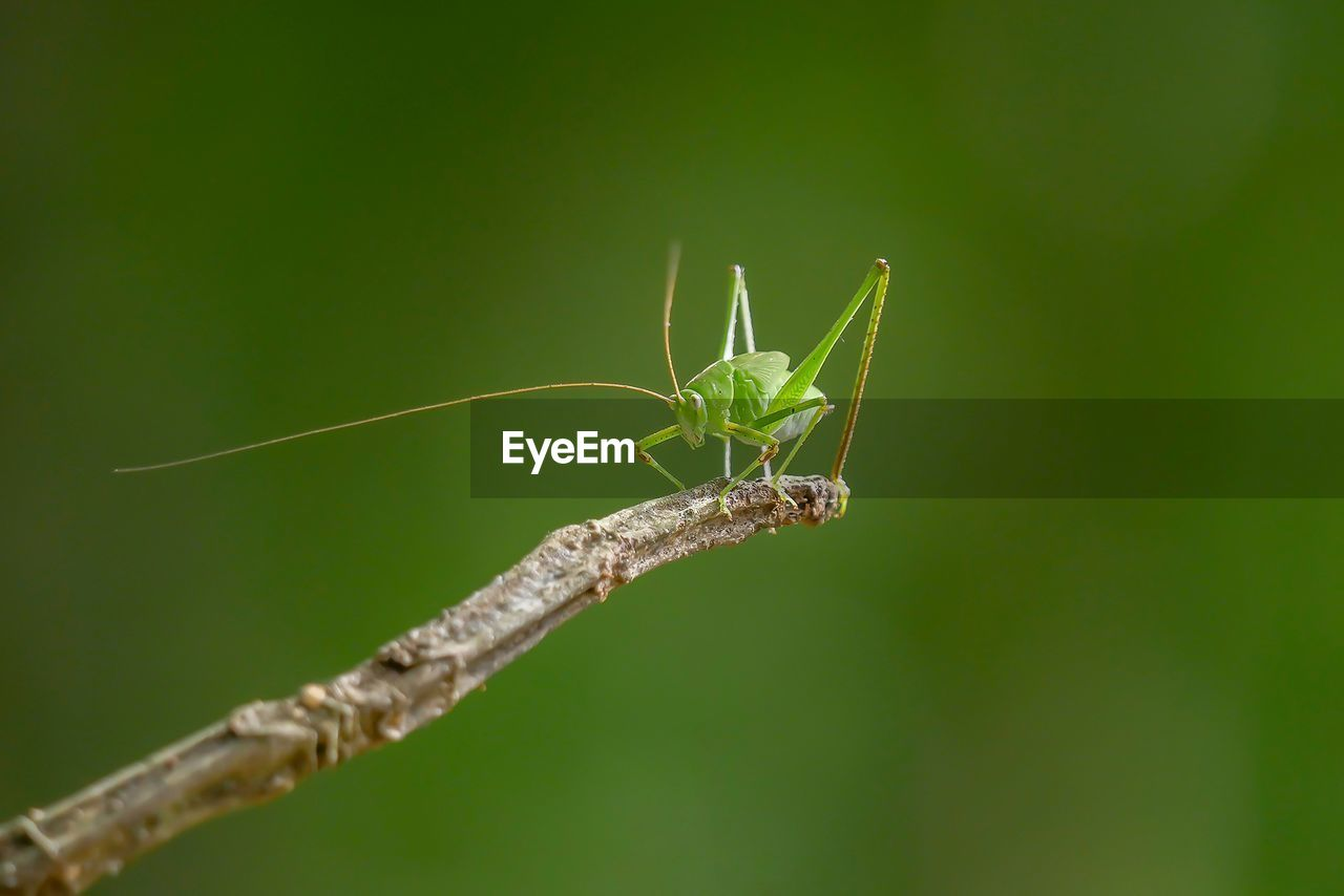 insect, green color, animal themes, one animal, animals in the wild, nature, animal wildlife, no people, close-up, focus on foreground, day, outdoors, leaf, grasshopper, plant