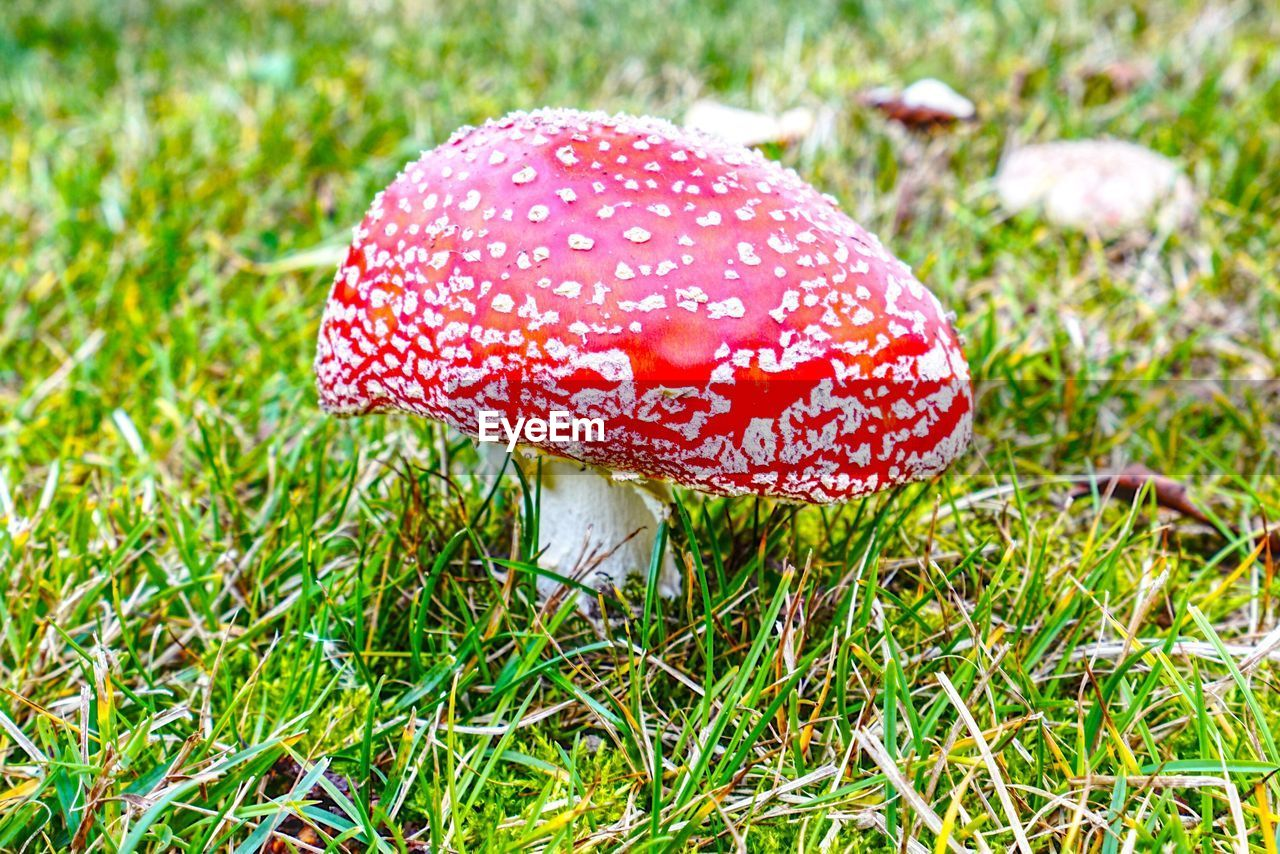 Close-up of fly agaric mushroom on grass