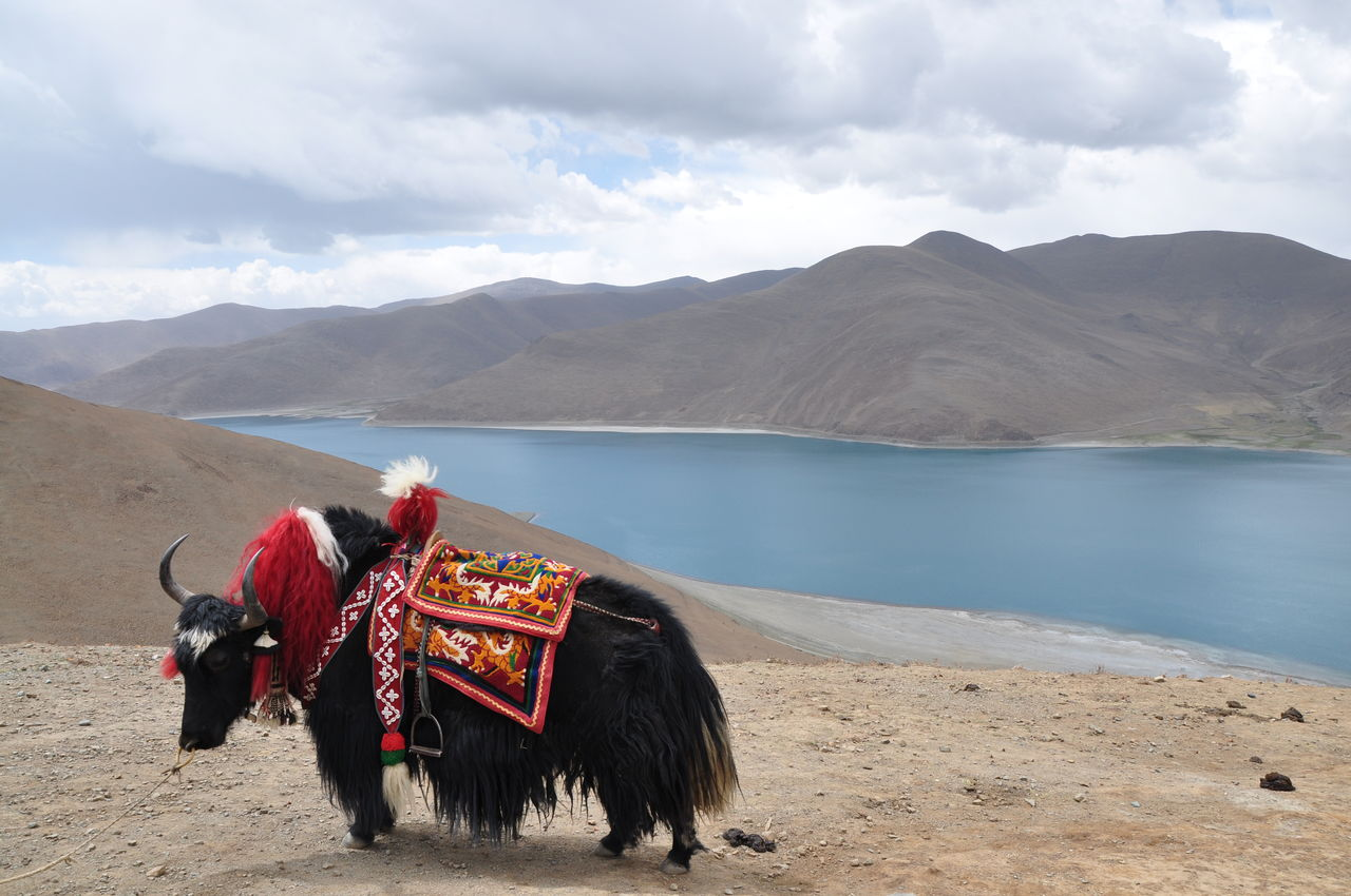 Black Yak Standing By Lake And Mountains Against Cloudy Sky
