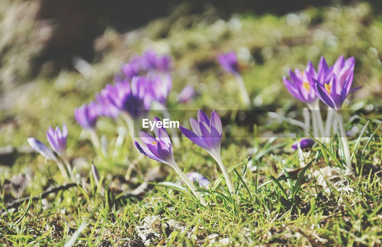 flowering plant, flower, plant, beauty in nature, freshness, growth, vulnerability, fragility, purple, close-up, field, petal, land, selective focus, nature, flower head, inflorescence, no people, day, crocus, iris, outdoors, springtime