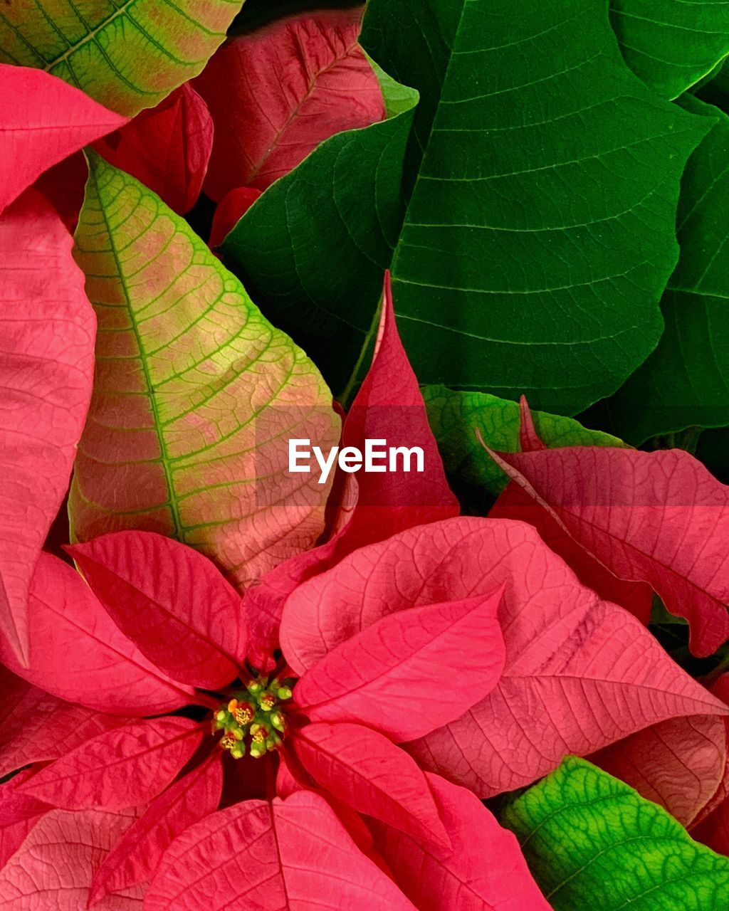 leaf, plant part, red, plant, flower, close-up, nature, beauty in nature, no people, green color, flowering plant, growth, day, outdoors, leaves, leaf vein, vulnerability, fragility, freshness, high angle view, flower head