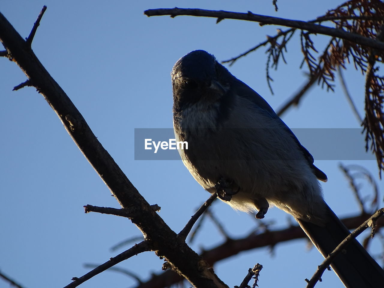 one animal, branch, perching, low angle view, bird, tree, animal themes, animal, animals in the wild, vertebrate, animal wildlife, plant, no people, sky, nature, clear sky, day, focus on foreground, outdoors, close-up, beak, eagle