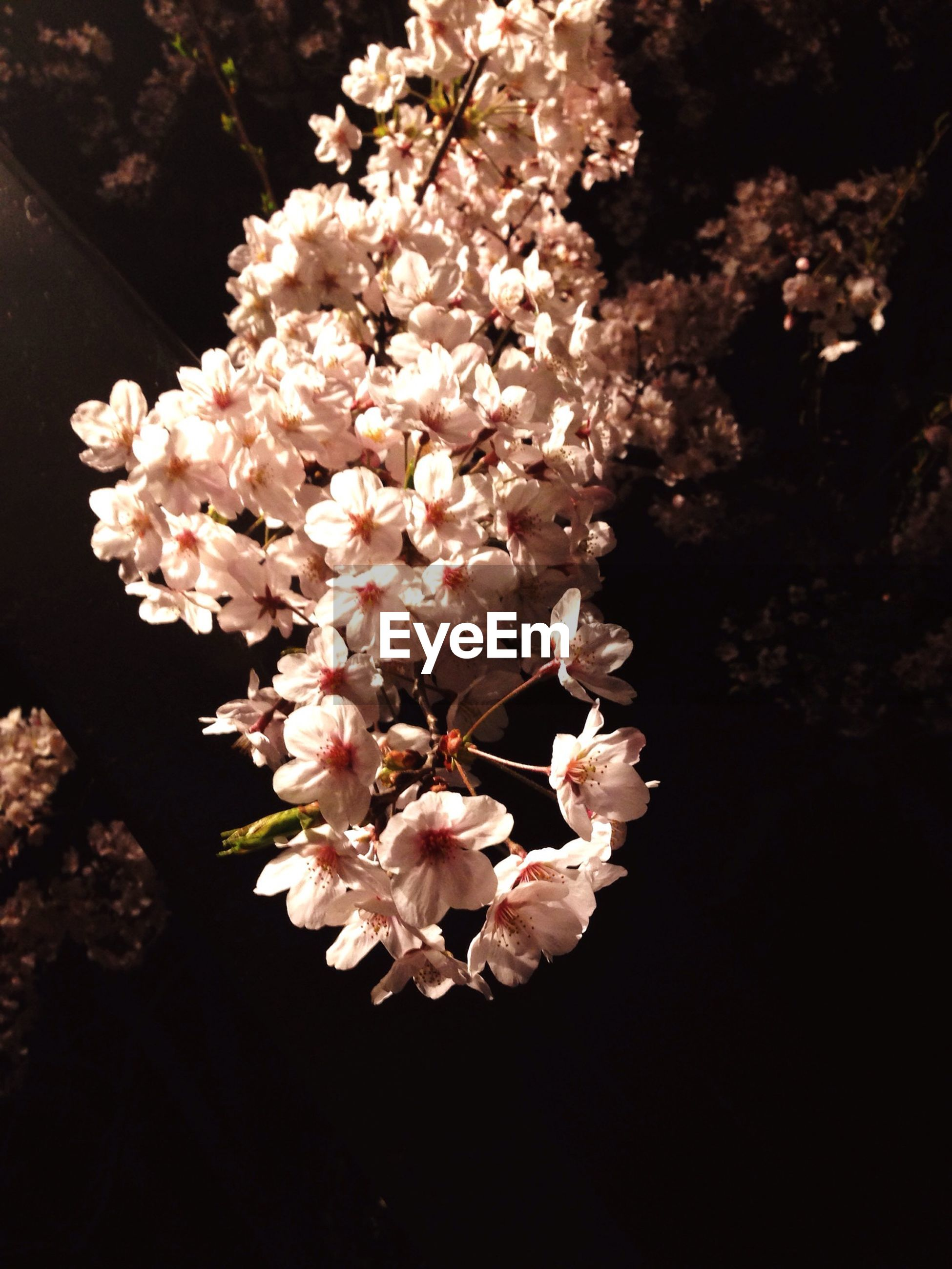 flower, freshness, growth, fragility, beauty in nature, branch, petal, tree, nature, blossom, cherry blossom, pink color, close-up, flower head, blooming, in bloom, cherry tree, springtime, twig, botany