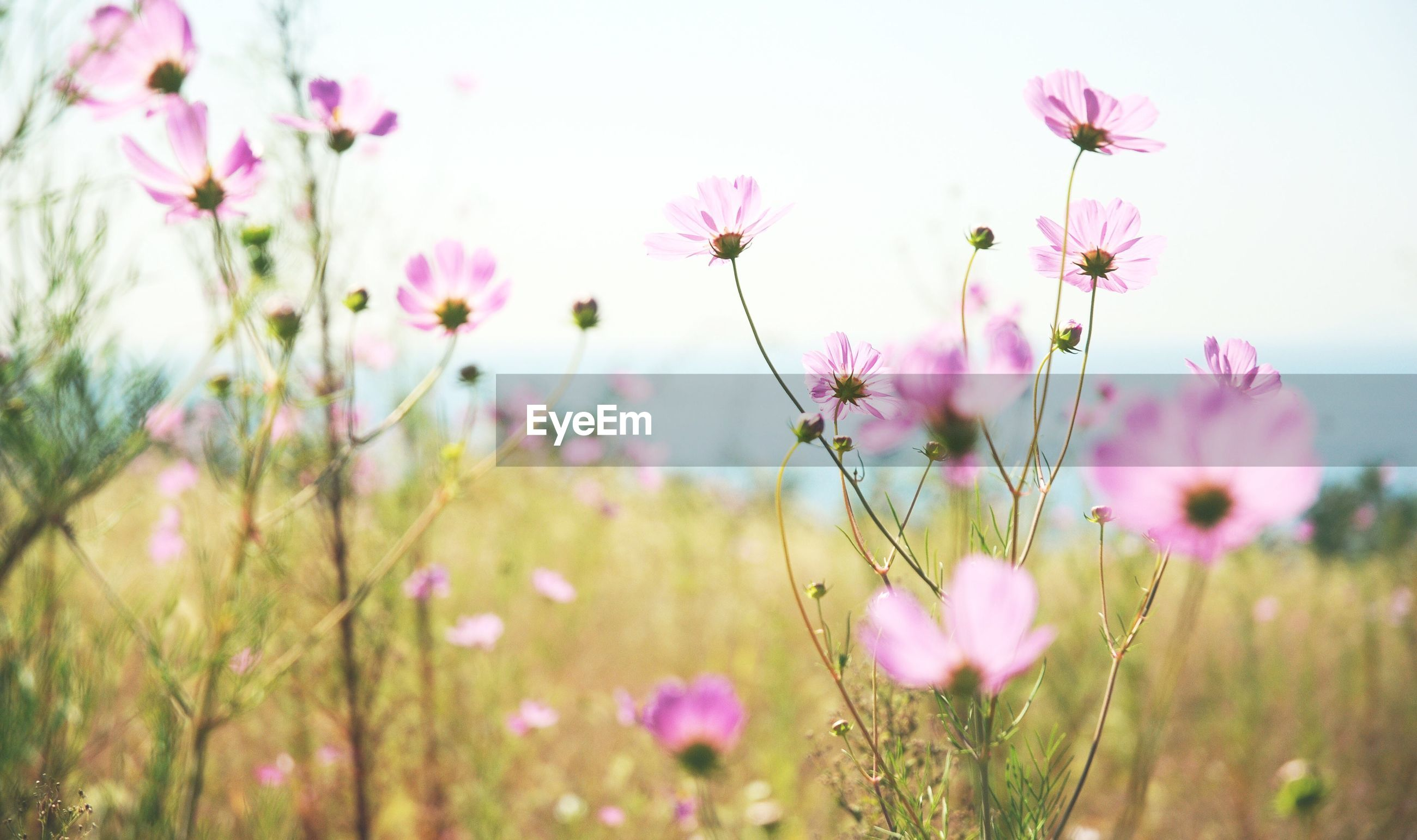 CLOSE-UP OF COSMOS FLOWERS BLOOMING ON FIELD