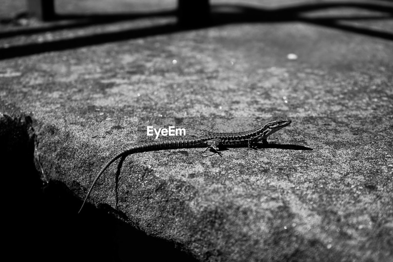 one animal, animal themes, animal wildlife, animal, animals in the wild, no people, close-up, invertebrate, reptile, selective focus, vertebrate, day, lizard, gastropod, animal antenna, slug, nature, animal body part, outdoors, zoology